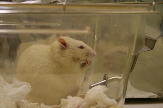 事关伦理问题公鼠怀孕实验引发争议